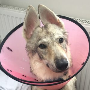 Dog with end of tail bitten off